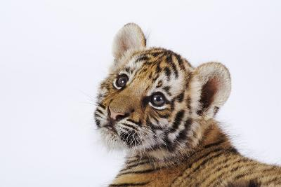 Tiger Cub-Martin Harvey-Photographic Print