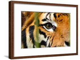 Tiger Eye-Anan Kaewkhammul-Framed Photographic Print