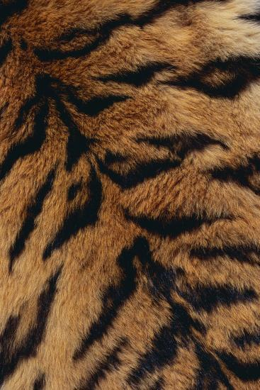 Tiger Fur-DLILLC-Photographic Print
