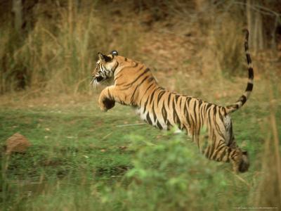 Tiger, Leaping, India-Satyendra K^ Tiwari-Photographic Print