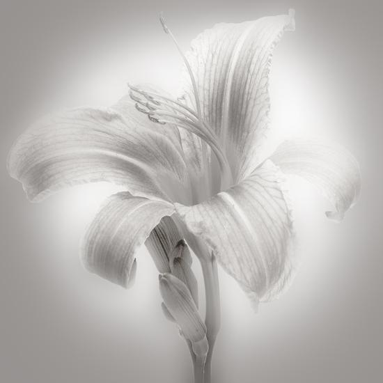 Tiger Lily II-James McLoughlin-Photographic Print