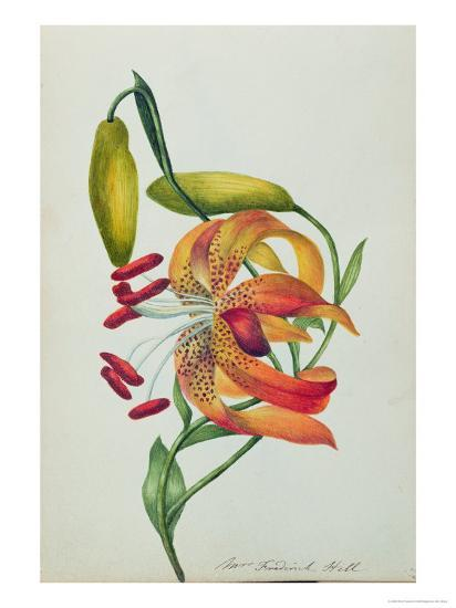 Tiger Lily-Mrs Frederick Hill-Giclee Print