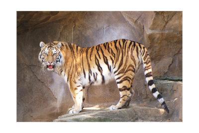 Tiger on Ledge-Lantern Press-Art Print