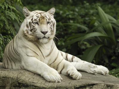 Tiger (Panthera Tigris), White Morph, Captive Animal, Singapore-Thomas Marent/Minden Pictures-Photographic Print