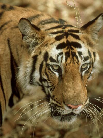 Tiger, Portrait, India-Satyendra K^ Tiwari-Photographic Print