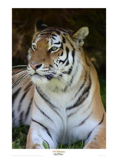 Tiger Portrait-Martin Fowkes-Giclee Print