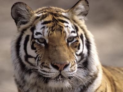 Tiger, Qinhuangdao Zoo, Hebei Province, China-Raymond Gehman-Photographic Print