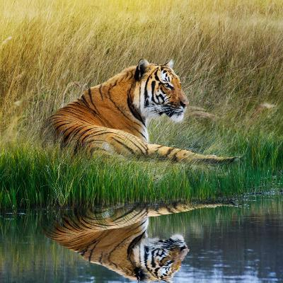 Tiger Relaxing on Grassy Bank with Reflection in Water-Svetlana Foote-Photographic Print