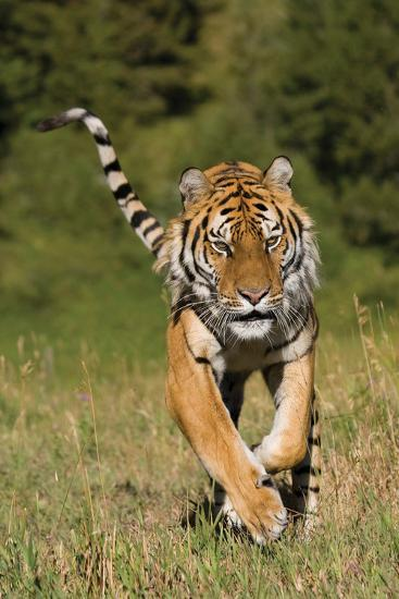 Tiger Run-Susann Parker-Photographic Print