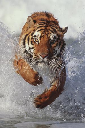 https://imgc.artprintimages.com/img/print/tiger-running-through-water_u-l-pzrkrr0.jpg?p=0