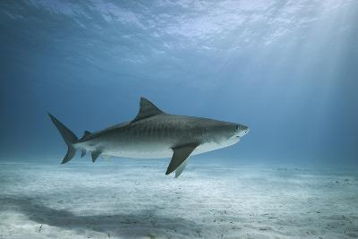 Tiger Shark in Water-Alastair Pollock Photography-Photographic Print