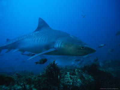 Tiger Shark, Swimming, South Africa-Gerard Soury-Photographic Print