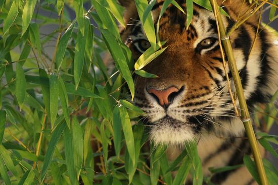 Tiger Sitting among Bamboo Leaves-DLILLC-Photographic Print
