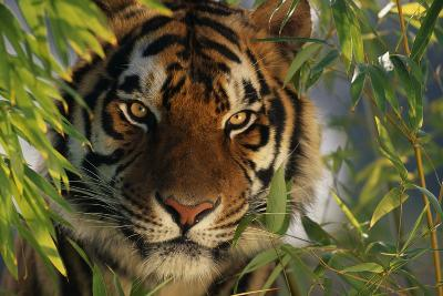 Tiger Sitting among Bamboo Leaves-DLILLC-Photographic Print