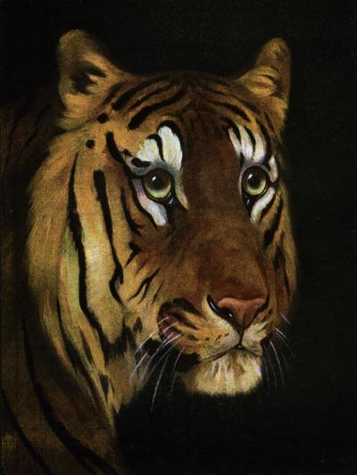 Tiger Study, 1908-1909--Giclee Print