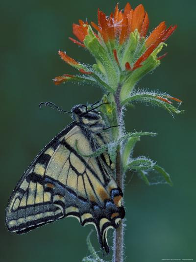Tiger Swallowtail on Indian Paintbrush, Houghton Lake, Michigan, USA-Claudia Adams-Photographic Print