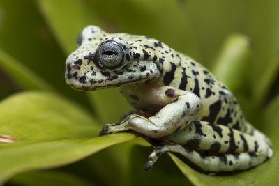Tiger Tree Frog, Ecuador-Pete Oxford-Photographic Print