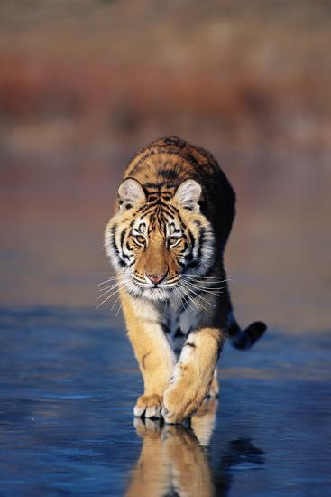 Tiger Walking on Wet Surface-DLILLC-Photographic Print