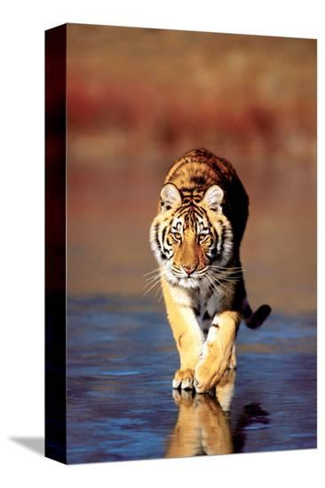 Tiger Walking--Stretched Canvas Print