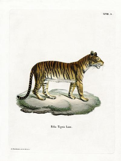Tiger--Giclee Print