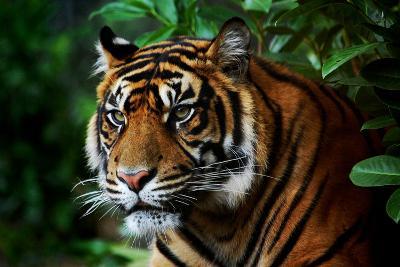 Tiger-Nanieke-Photographic Print