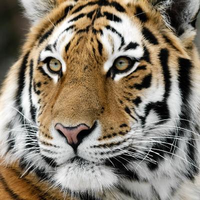 Tiger-nialat-Photographic Print