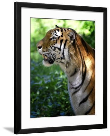 Tiger-Gordon Semmens-Framed Photographic Print