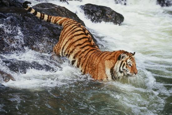 Tiger--Photographic Print