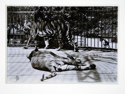 Tigers at London Zoo, 1870S-English Photographer-Giclee Print