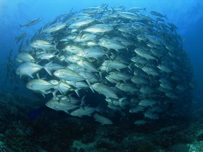 Tightly Balled School of Jack Fish, Sipadan Island, Sabah, Malaysia, Borneo, Southeast Asia-Murray Louise-Photographic Print