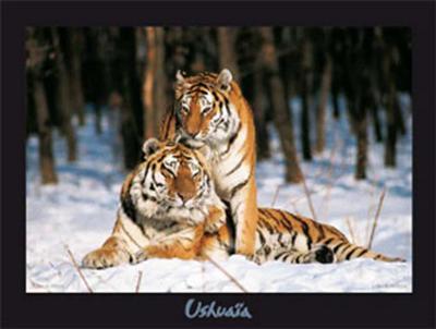 Tigres-Gilles Santantonio-Art Print