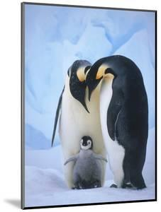 Emperor Penguins with Chick by Tim Davis