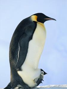 Penguin Chick Warming Under Adult by Tim Davis
