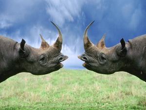 Rhinoceroses Looking at Each Other by Tim Davis