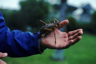 Giant Weta, Little Barrier Is, New Zealand. World'S Second Largest Insect Related To Crickets