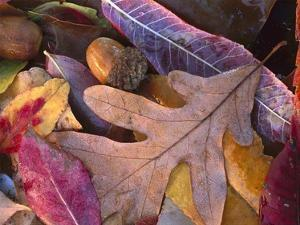 Acorns, Oak, Cherry and Sumac, fall, Petit Jean State Park, Arkansas by Tim Fitzharris