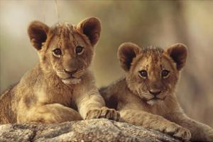 African Lion cubs resting on a rock, Hwange National Park, Zimbabwe, Africa by Tim Fitzharris