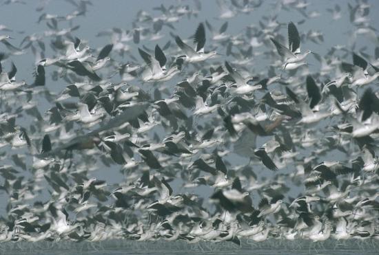 tim-fitzharris-american-avocet-flock-erupting-into-flight-north-america
