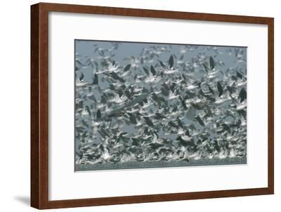American Avocet flock erupting into flight, North America