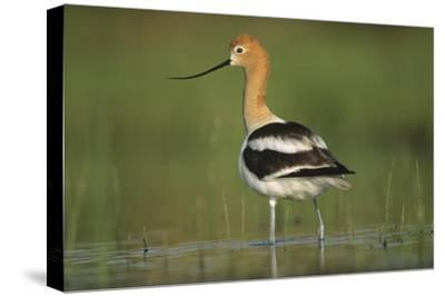 American Avocet in breeding plumage wading though shallow water, North America