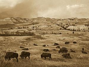 American Bison herd grazing on praire, Theodore Roosevelt NP, North Dakota - Sepia by Tim Fitzharris