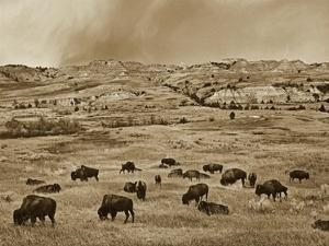 American Bison herd grazing on shortgrass prairie, Theodore Roosevelt National Park, North Dakota by Tim Fitzharris