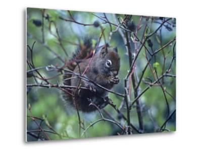 American Red Squirrel Eating Rosehips, British Columbia, Canada