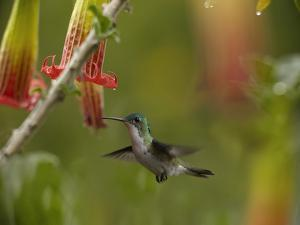 Andean Emerald Hummingbird Hovering at a Flower by Tim Fitzharris