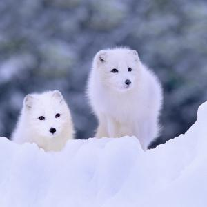 Arctic Foxes in the Snow, Manitoba, Canada by Tim Fitzharris