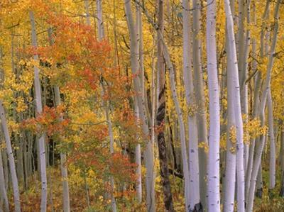 Aspens at Independence Pass, Colorado by Tim Fitzharris