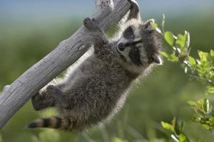 Baby Raccoon Playing on a Branch, Montana, Usa by Tim Fitzharris