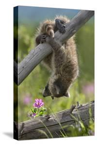 Baby Raccoon Upside Down, Montana, Usa by Tim Fitzharris