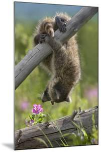 Baby Raccoon Upside Down, Montana, Usa by Tim Fitzharris