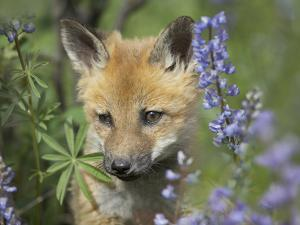 Baby Red Fox in Wildflowers, Wyoming, Usa by Tim Fitzharris
